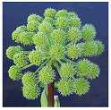 health benefits of angelica