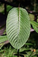 Kratom Daily Dosage Thomaston